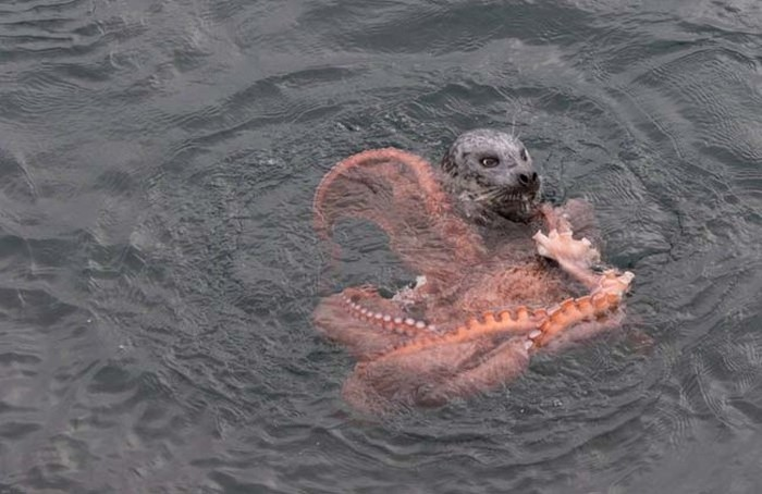 Harbor Seal Vs Giant Octopus (7 pics)