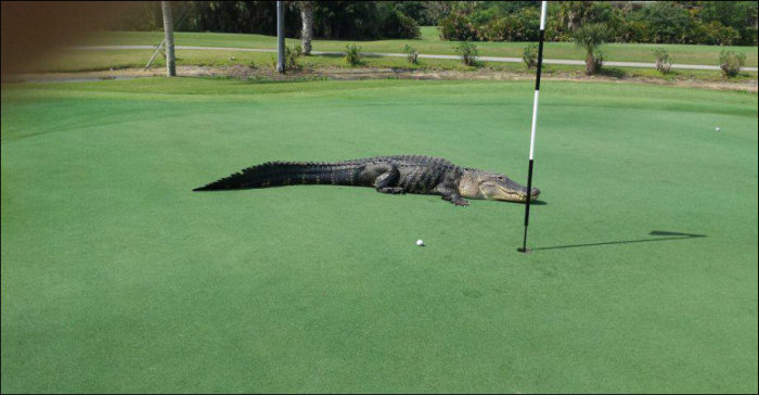 Giant Alligator Ruins Golf Game (3 pics)