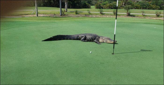 Giant Alligator Ruins Golf Game (3 pics)