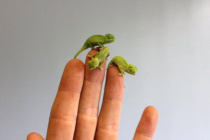 Tiny Baby Chameleons (11 pics)