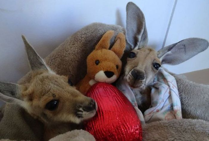 Orphaned Baby Kangaroos Find A Loving Home (16 pics)