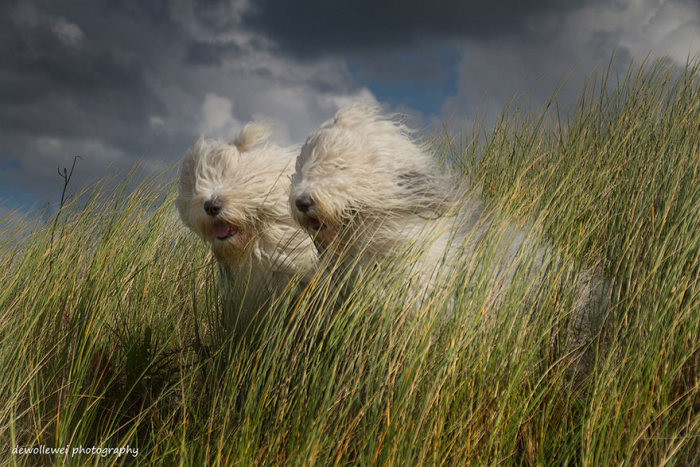 These Sheepdog Sisters Just Love Taking Pictures Together (24 pics)