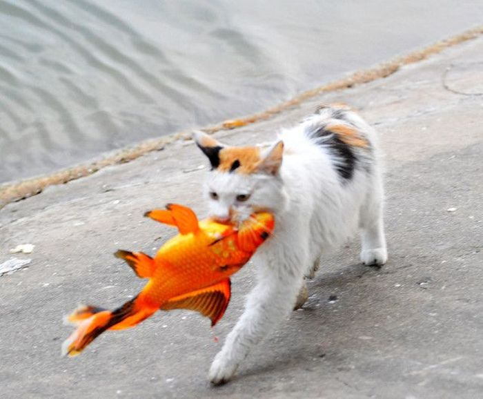 Cat Catches A Huge Goldfish For Dinner (10 pics)