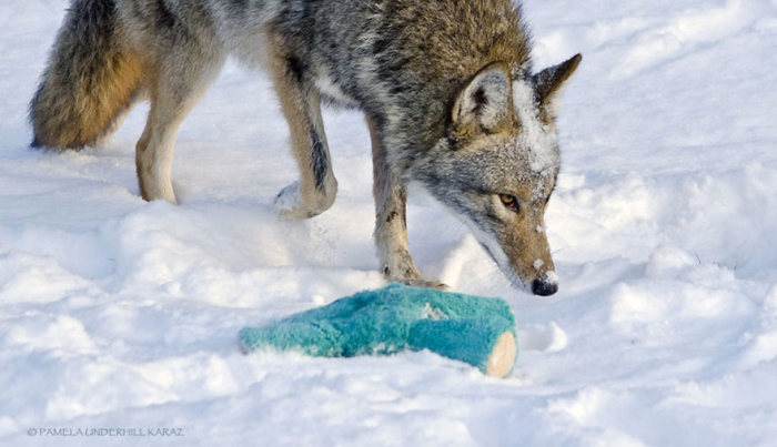 Wild Coyote Finds A Toy And Falls In Love With It (8 pics)