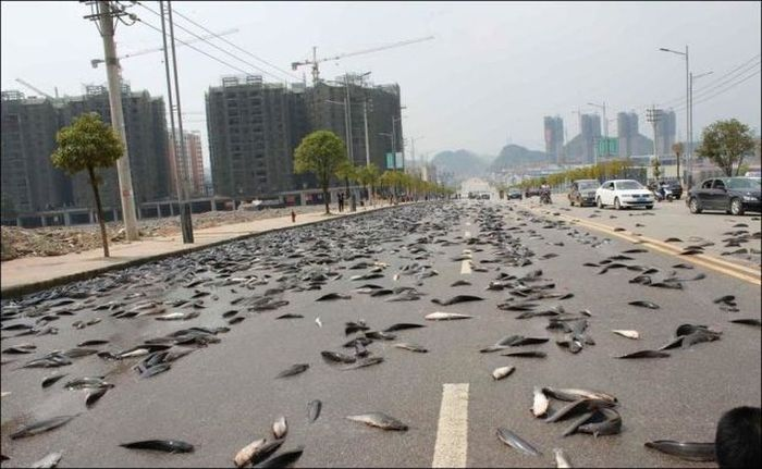 A Truckload Of Fish Ends Up All Over The Road In China (6 pics)