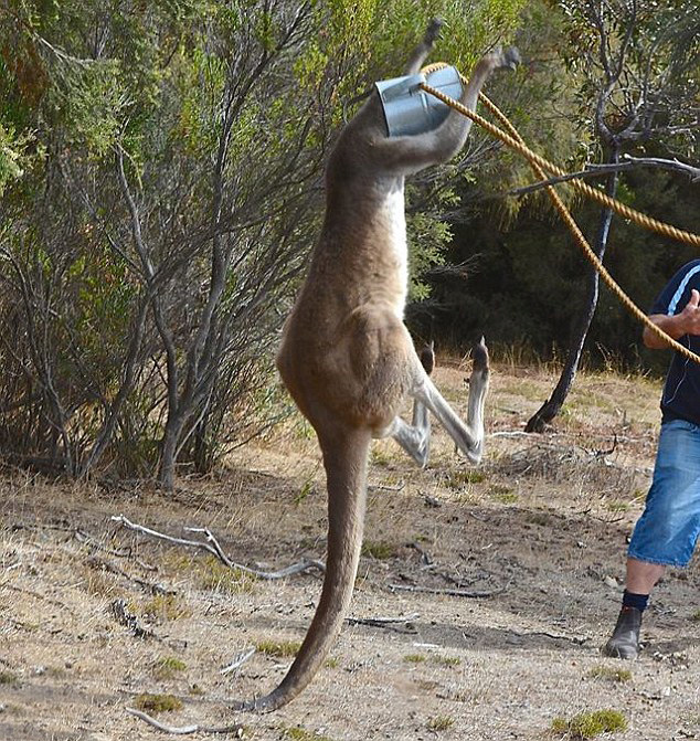 This Kangaroo Got His Head Stuck In A Watering Can (5 pics)