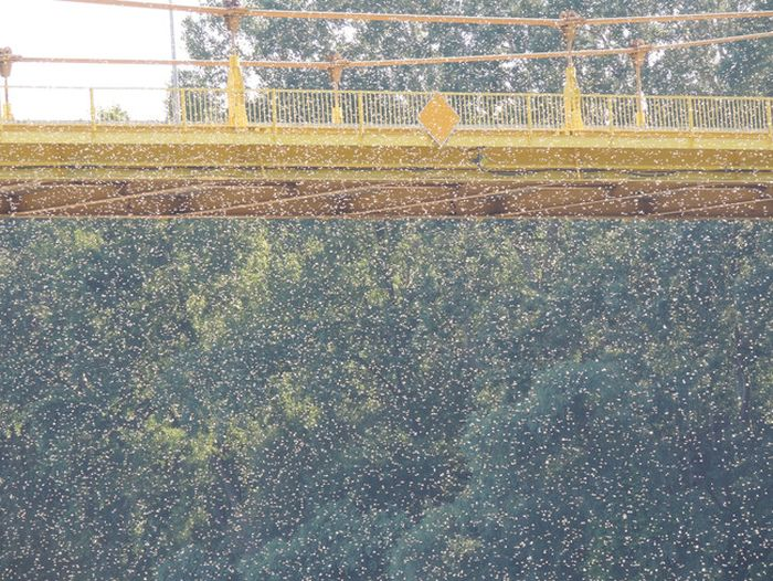 Every Year These Towns Get Flooded By A Swarm Of Insects (7 pics)
