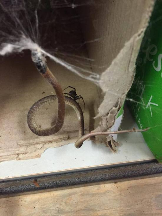 Snake Gets Caught In A Spider's Web (3 pics)