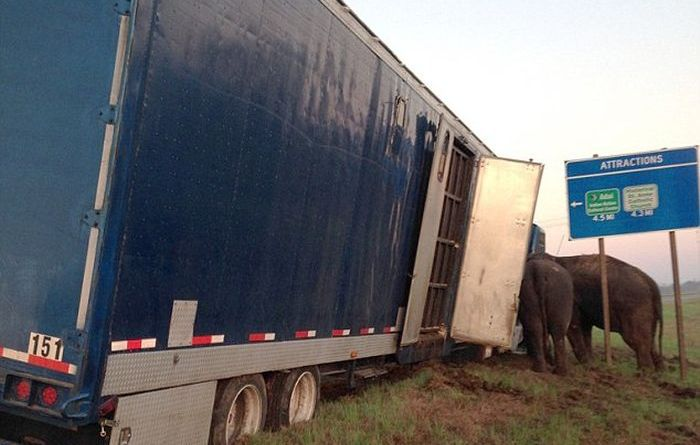 Circus Elephants Save 18 Wheeler From Tipping Over (7 pics)