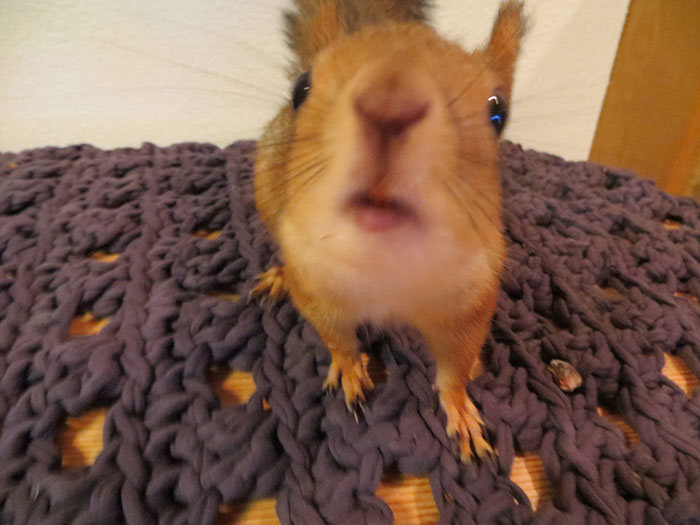 Family Adopts A Squirrel And Turns Him Into A House Pet (20 pics)