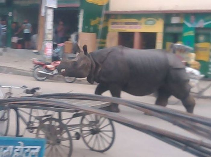 Rhinoceros Goes On A Rampage In Nepal (4 pics)