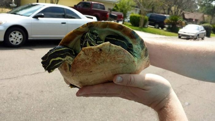 Turtle Survives After Getting Stuck In The Grill Of A Car (6 pics)