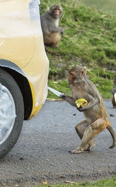 Bubble Wrap Will Save You From Monkeys (4 pics)