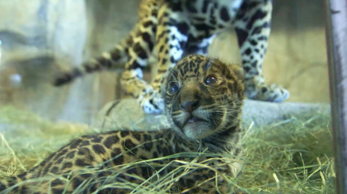 diego and baby jaguar - photo #36