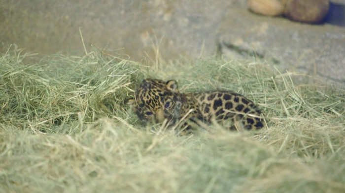 The San Diego Zoo Gets A New Baby Jaguar (8 pics)
