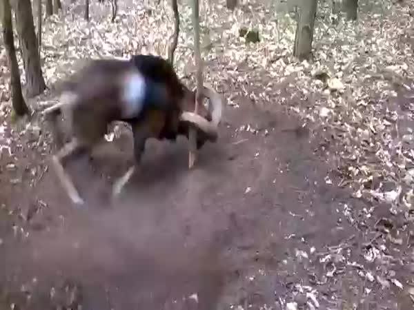 Ram Stuck In A Tree