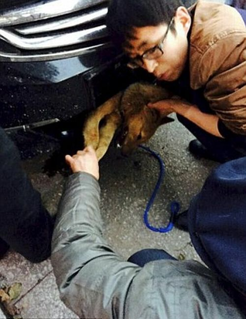 Dog Survives 248 Mile Ride After Getting Hit By Car (5 pics)