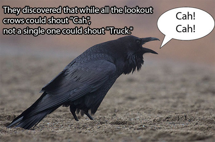 The Real Reason Why Crows Get Hit By Trucks (7 pics)