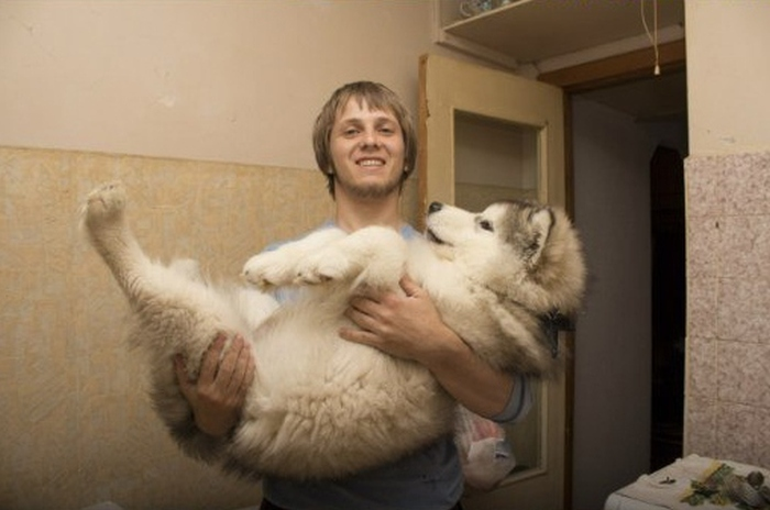 Alaskan Malamute Grows Up To Be A Massive Animal (4 pics)