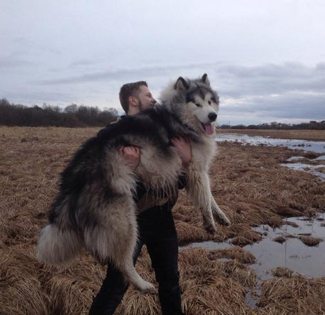 Alaskan Malamute Grows Up To Be A Massive Animal (4 pics)