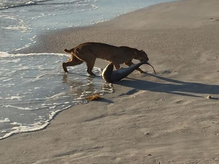 Bobcat Goes Fishing And Catches A Shark (2 pics)