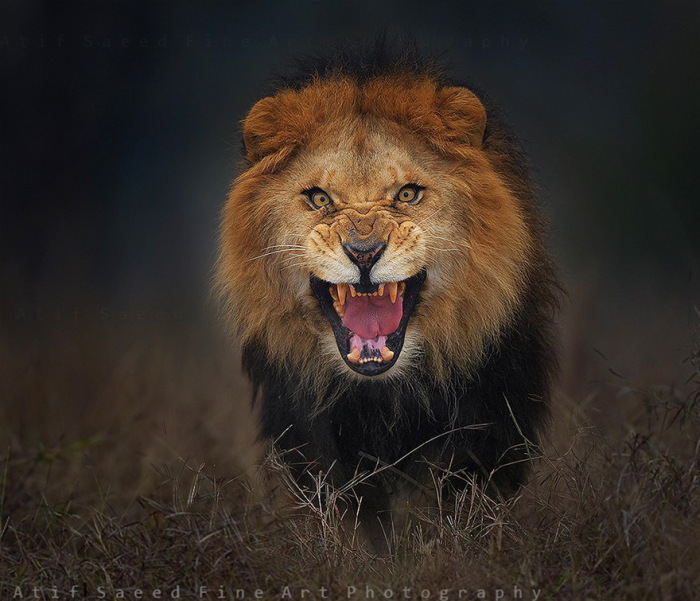 Photographer Almost Gets Attacked By A Lion While Taking A Picture (2 pics)