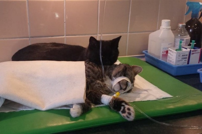 Meet The Cat That Thinks It's A Nurse (8 pics)
