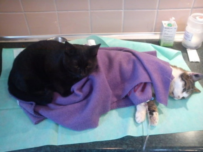 Meet The Cat That Thinks It's A Nurse (8 pics)