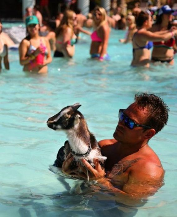 This Goat Has The Life That Every Man Dreams Of (11 pics)