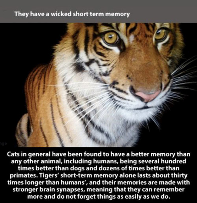Fun And Fascinating Facts About Tigers (22 pics)