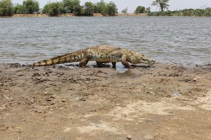 Humans Live Side By Side With Crocodiles In This African Village (6 pics)