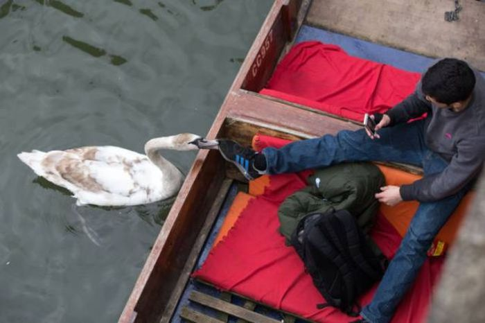 Meet The Mean Swan That Terrorizes People At The Cambridge River (28 pics)