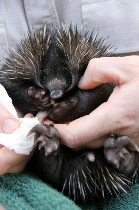 Baby Echidna (13 pics)