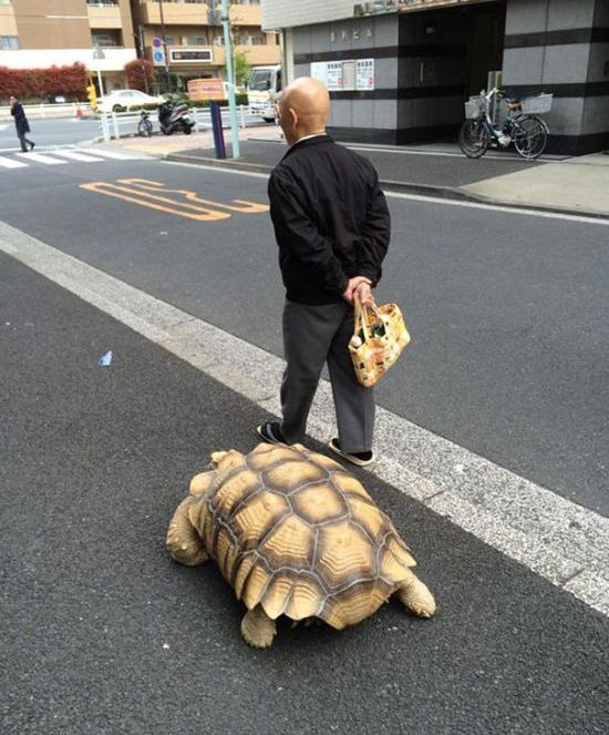 This Man Takes His Giant Pet Tortoise For Walks Around Tokyo (4 pics)