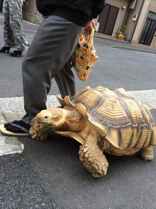 This Man Takes His Giant Pet Tortoise For Walks Around Tokyo (4 pics)
