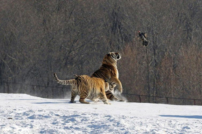 Tigers Hunting Makes For A Hilarious Fail (6 pics)