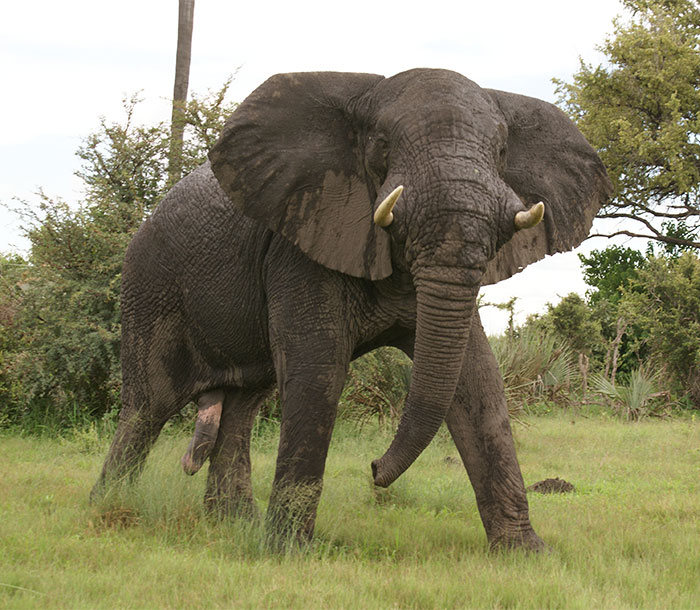 Ivory Hunter Gets Trampled To Death By An Elephant (5 pics)