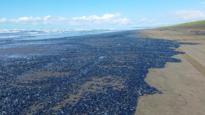Billions Of Blue Jellyfish Wash Up On The West Coast (5 pics)