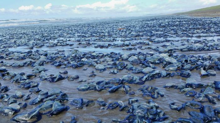 Billions Of Blue Jellyfish Wash Up On The West Coast (5 pics)