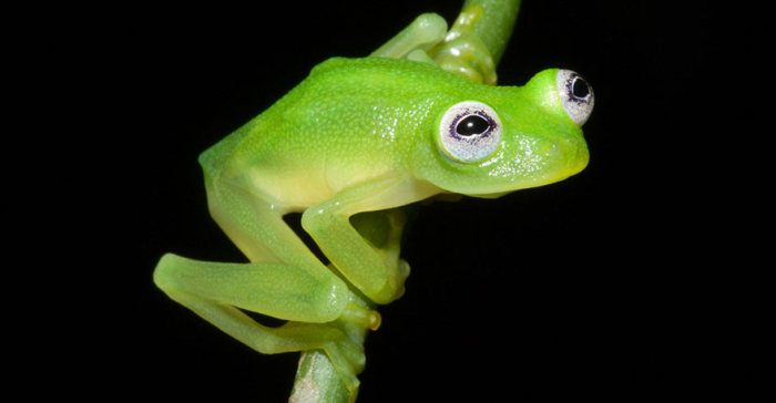 Real Life Kermit The Frog Discovered In Costa Rica (3 pics)