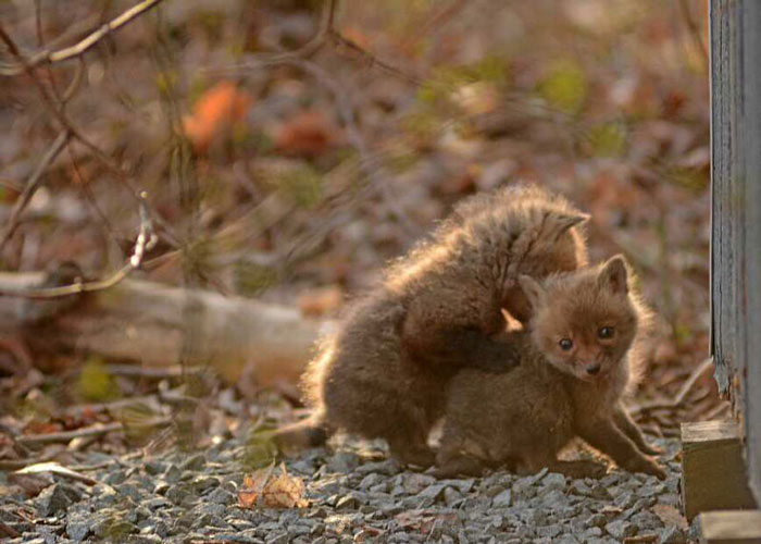 Father And Daughter Find Baby Foxes In Their Backyard (14 pics)