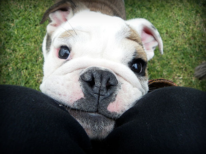 These Beautiful Bulldog Puppies Will Make You Melt (54 pics)