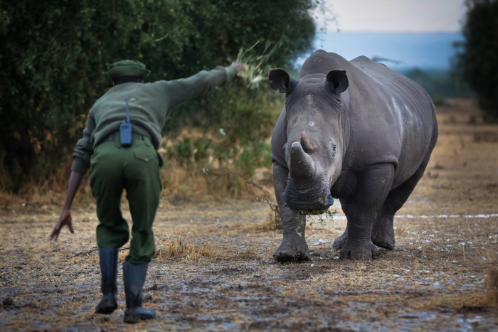 3 Of The Last White Rhinos In The World Are Under Protection (9 pics)