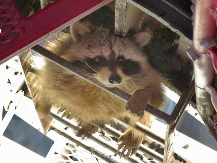 Raccoon Climbs 700 Foot Tall Crane In Toronto (4 pics)
