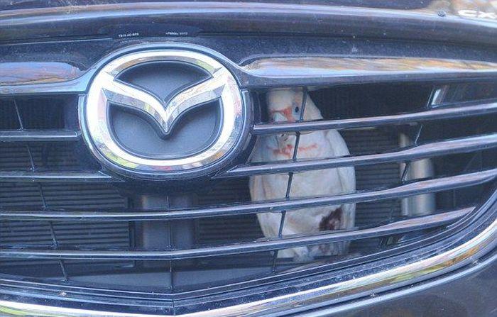 Cockatoo Gets Stuck In A Car Grill (4 pics)