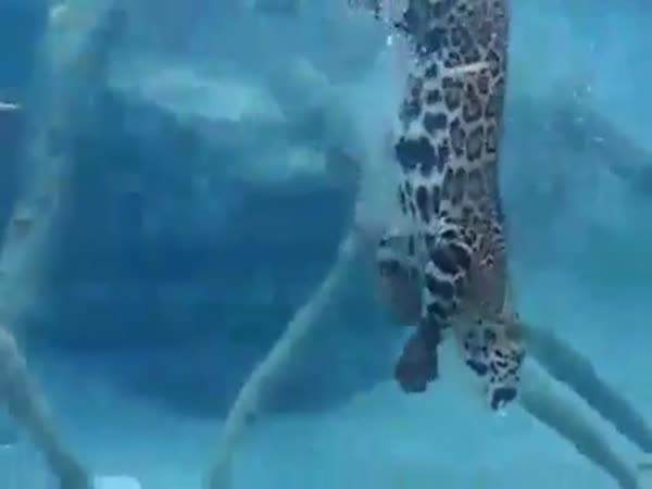 Diving Jaguar