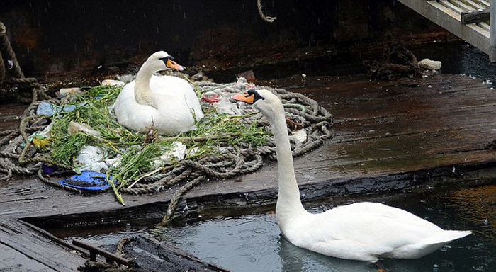 Swans Build A Nest On A Busy Dock (5 pics)