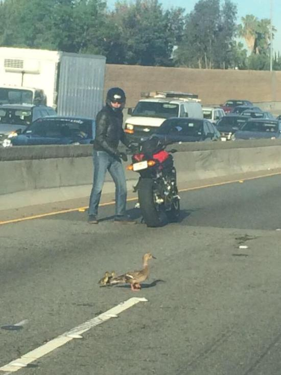 Biker Stops To Walk Ducks Across The Highway (4 pics)
