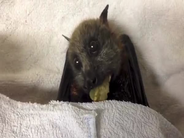 Bat Eating Grapes