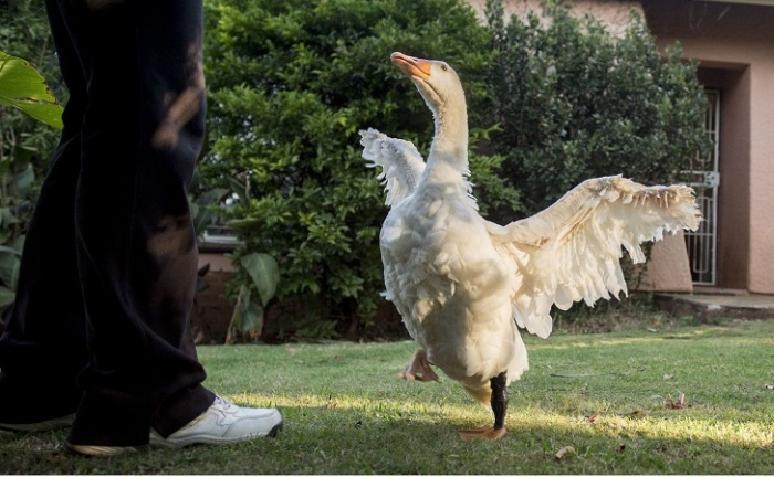 This Goose Got A Second Chance At Life Thanks To A 3D Printed Foot (12 pics)